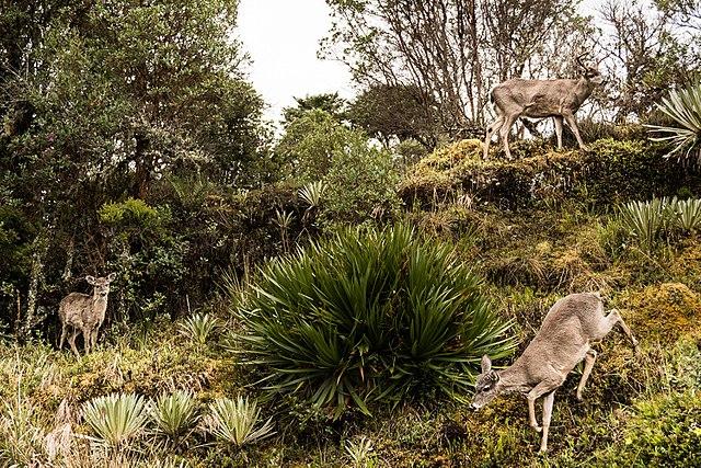 Trekking en Colombia - PNN Chingaza - Avistamiento de Venados